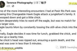 """""""老鹰抓小鸡""""在新加坡真实上演!整只被无情吞下肚"""