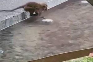 新加坡猴子是游泳健将,天天到公寓嬉水