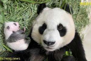 """大熊猫幼崽显露""""熊猫眼"""" 嘉嘉获赞""""超级妈妈"""""""