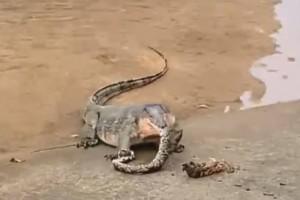 新加坡巨蜥吞噬巨蟒,居然吃到吐、还打嗝?上辈子肯定是饿死鬼