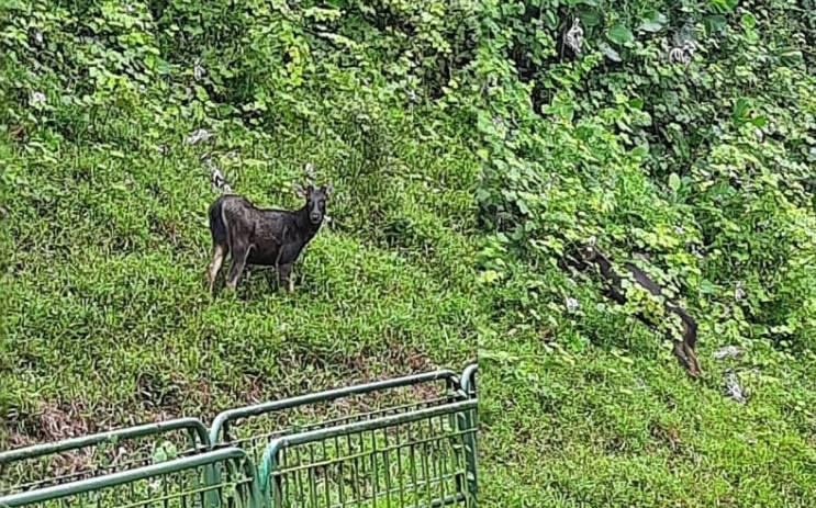 罕见水鹿大白天在BKE觅食 网谓为奇观