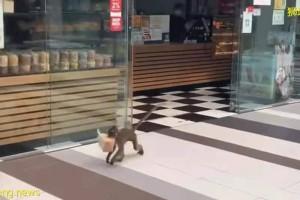 防火防盗防猴子,新加坡这家面包店惨遭猴子盗窃