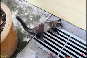 麝猫遭飞镖猎杀  动物协会:太残忍!