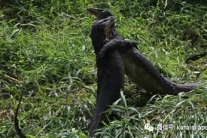 两条巨蜥在新加坡公园猛斗,只为了争取吃掉同伴