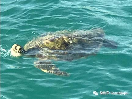 难得画面!珍稀海龟现身新加坡南部海域